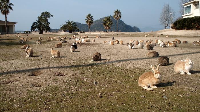 勿論悲しい歴史だけがこの島ではありません。 およそ700匹ほどにのぼるといわれる数のうさぎたち!