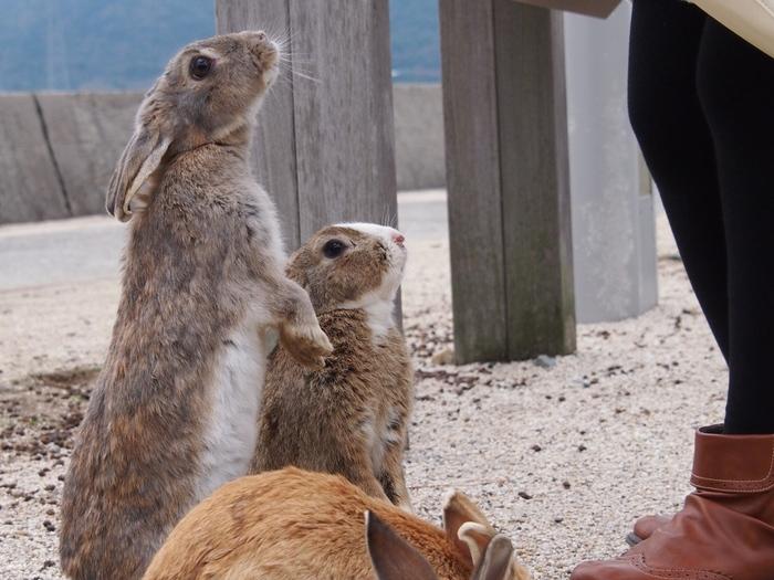 人にはとびきり慣れているので、したたかさも兼ね備えた野生のウサギたちです。 時折こんな可愛い一面もみせてくれます。