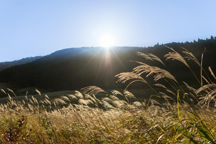 神奈川県の芦ノ湖近くに位置する、仙石原高原。 全国的にも、ススキの群生地として有名な場所です。 一面に広がるススキは、圧巻です。