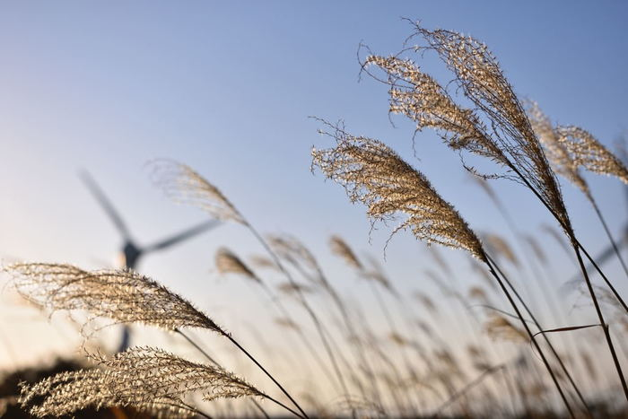 青山高原の魅力は、風車とススキ。 太陽に照らし出されたコラボは、素敵です。