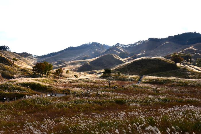 雄大な砥峰高原の山並みと、光り輝くススキ。 高原には小道があり、ススキ草原を散策することができます。 西日本随一の、ススキ絶景を楽しんでください。