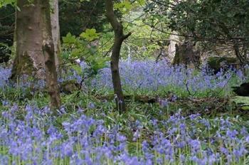 5月頃になると、ハイキングの途中で遭遇することの多い、湖水地方の森林に群生するブルーベル。まるで青の絨毯を敷いたように、森林にひっそりと咲くブルーベルの大群は壮観の美しさです。