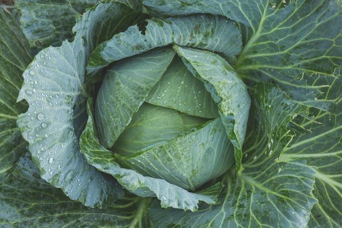 キャベツにはビタミンCがとっても豊富。ビタミンCはタンパク質からコラーゲンを生成するのに必要な成分です。