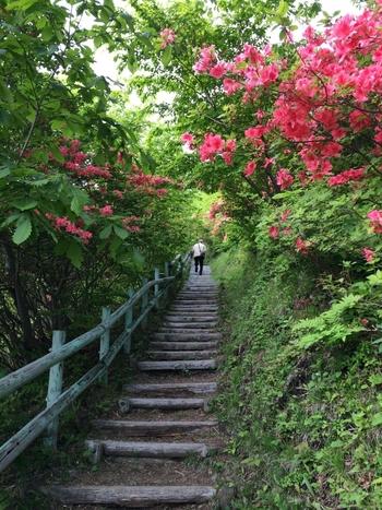 函館市恵山町(えさんちょう)にある「恵山つつじ公園」には、つつじが約4万本群生しています。5月下旬から6月下旬にかけて、活火山である恵山の山肌や公園内に、綺麗な花のじゅうたんが広がります。