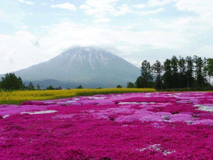 リゾート地として知られるニセコ町のお隣の倶知安町(くっちゃんちょう)には、個人の方が営んでいる芝ざくら庭園があります。5月下旬から6月上旬頃までが見頃です。知る人ぞ知る穴場スポットで、海外からも観光客が訪れています。