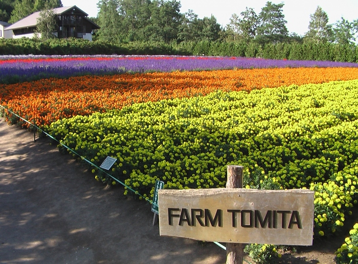 北海道富良野にある代表的な観光スポット「ファーム富田」。園内ではおよそ15ヘクタールのラベンダーが栽培されています。春・夏・秋で園内の花々が変わり、見る者を飽きさせません。