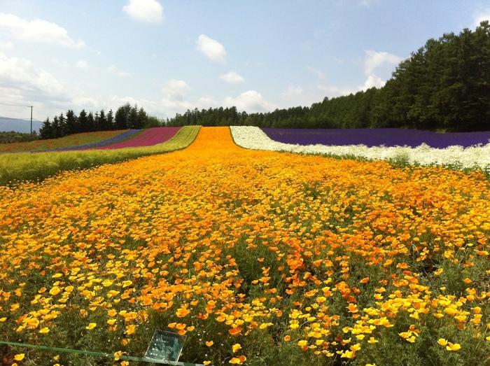 ラベンダーの他に7月~8月にかけては、ポピーやコスモス、カスミソウなど色とりどりの花々が咲いています。北海道を代表するテレビドラマ「北の国から」で有名になったファーム富田は、訪れる者をきれいに整備された花畑が出迎えてくれます。