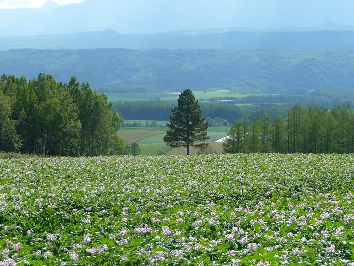 「北の国から」の舞台となった麓郷(ろくごう)や富良野の街並みを見渡せる展望台は、壮大な景色に咲く一面の花々を眺める事ができます。冷涼な高台のため6月上旬から菜の花やチャイブ、ルピナスなどが咲き始め、ラベンダーは早咲きで7月上旬から見ることができます。