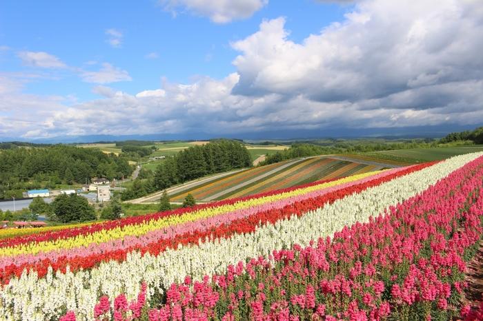 「丘のまち」と言われる美瑛町(びえい)にある7ヘクタールもの広さを有している四季彩の丘。「展望花畑」というだけあって丘から見下ろす花畑は圧巻です。5月初旬からチューリップやパンジーなどが咲き始め、10月下旬までで四季折々の花を楽しむことができます。