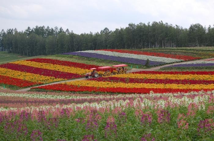 園内ではバギーやトラクターバスなどで花畑を周遊することもできます。ゆっくり歩きながら景色を写真に収めたり、花を観賞するのも良いですね。