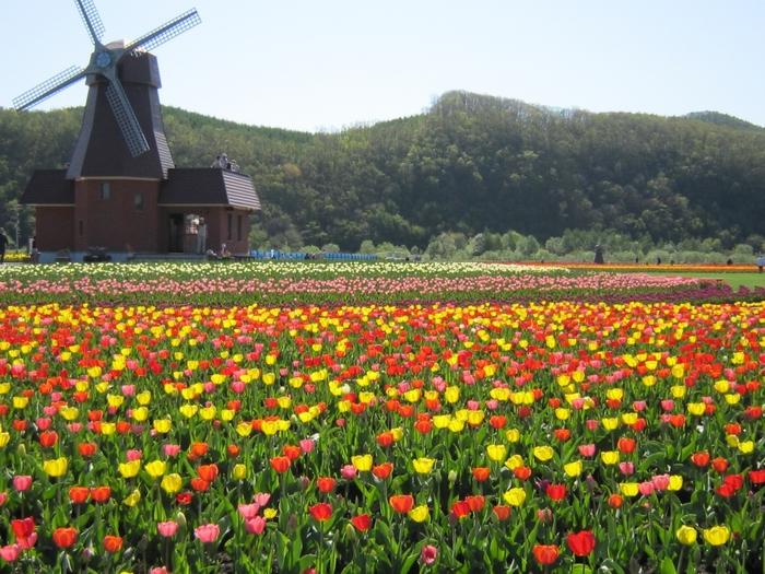 上湧別(かみゆうべつ)チューリップ公園は、総面積12.5ヘクタール、作付け面積7ヘクタールの広大な敷地の中に、120数種120万本のチューリップが咲きます。5月上旬~6月上旬まで見ることができます。