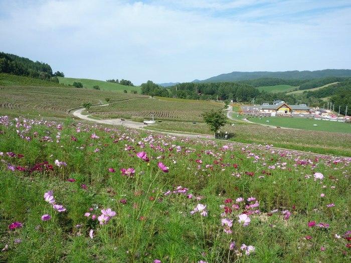 「太陽の丘えんがる公園」は、ひとつの丘の頂から裾野まであるという10ヘクタールのダイナミックかつ広大な公園です。1000万本が咲き渡るコスモスは8月中旬から9月下旬まで楽しめます。