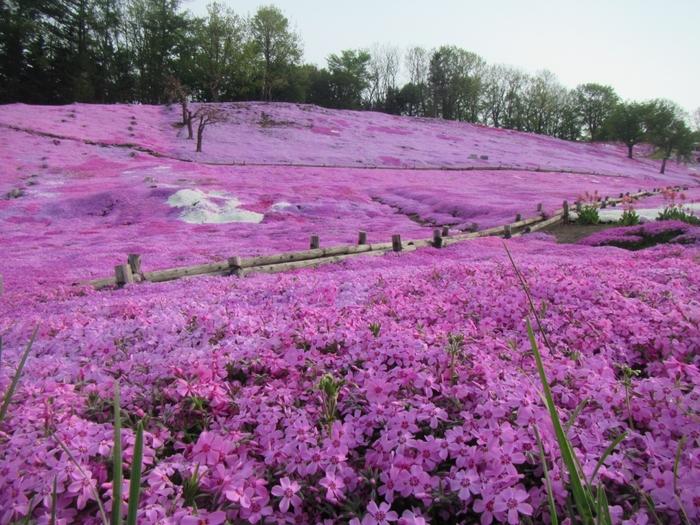 5月中旬~6月上旬頃には芝ざくらが見頃を迎えます。
