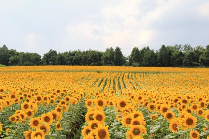 道北・北竜町にある日本最大のひまわり畑と言われる「ひまわりの里」には、23ヘクタールの敷地に130万本のひまわりが咲き誇っています。なだらかな丘になっていて、ひまわりの黄色が視界いっぱいに広がります。
