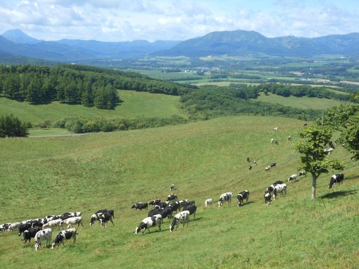 放牧されてる牛。のびのびしていてストレスとは無縁な環境で過ごしているからか、どの牛もキレイですね。