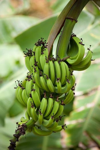 日本ではあまりお目にかからない青いバナナですが、国内に入ってきたときは全てのバナナは青いのです。バナナは国内で黄色くなっているんですね。 時々八百屋さんやスーパーなどで青バナナを見かける程度なので、見つけたら即ゲットしましょう。 みるみる熟成が進んで黄色くなるので、青バナナを食べるときはお早めに。