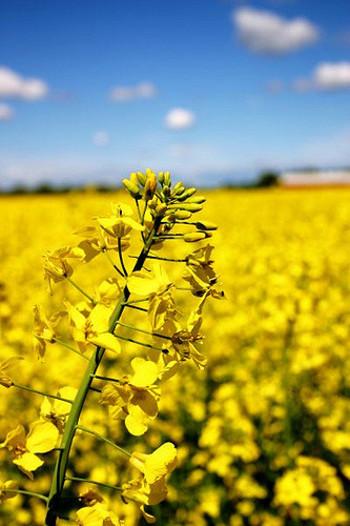 """日本で「なたね」「菜の花」と呼ばれている「アブラナ」は、アブラナ科アブラナ属の植物で、古くから日本でも親しまれてきました。大きく分けて在来菜種である""""アブラナ""""と、洋種菜種の""""西洋アブラナ""""があります。"""