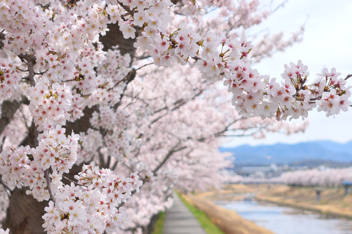 桜の花が咲き始める頃。各地で桜の開花予想が発表され、待ちわびた春の到来と楽しいお花見の予定にわくわくする季節です。