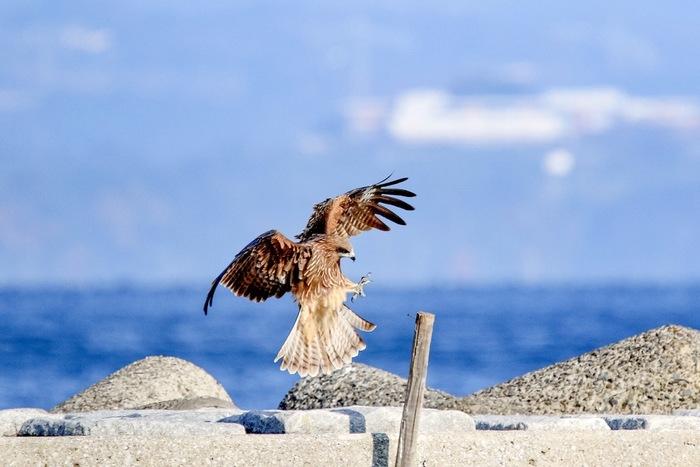 春に生まれた鷹の幼鳥が、飛び方や獲物を捕らえる技を覚え、巣からの旅立ちを迎える頃。日本では古今タカといえば「大鷹」をさすことが多く、優れたハンターであることから「鷹狩り」などに使われました。