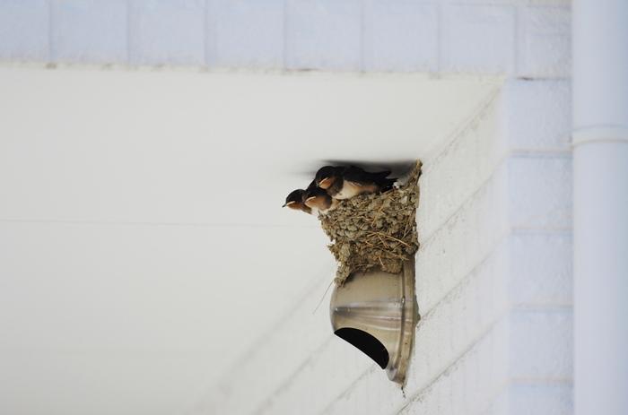 春先に飛来した燕が日本で夏を過ごし子育てを終え、南へ帰っていきます。越冬先である東南アジアやオーストラリアまでは数千キロメートルにも及ぶ旅が待っています。