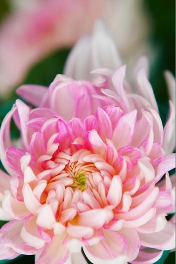 菊の花が美しく咲き始める頃。各地で菊の品評会や菊まつりが開かれます。