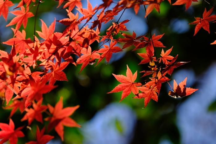 楓(かえで)や蔦の葉が赤や黄色に色づく季節。紅葉という言葉は、霜や時雨の冷たさに、葉が揉み出されるようにして色づくことから「揉み出づ」~「もみづ」~「もみじ」と転訛したという説もあります。