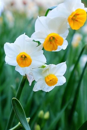 水仙の花が咲き始める頃。キク科のキンセンカとは異なります。昔、中国で水仙の花の黄色い部分を黄金の杯に、白い花弁を銀の台にたとえ、「金盞銀台(きんせんぎんだい)」と呼んだことが別称の由来だそうです。