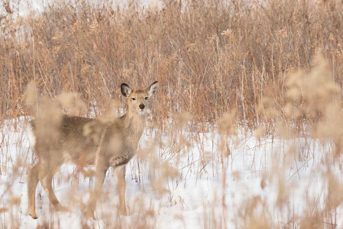 鹿の角が落ちる頃。麋とは大型の鹿の一種でヘラジカ、オオジカのことと言われます。北米ではムース、エルクなどと呼ばれる鹿ですが日本には生息していません。雄の巨大な角がこの時期になると脱落し生え変わります。