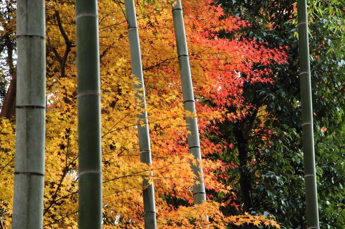常照寺は、京都市バス「源光庵前」徒歩2分のところにあります。吉野門の前で大きく色づく紅葉を始めとして、境内のいたるところが紅葉の観賞スポットです。写真を撮るのにもおすすめです。