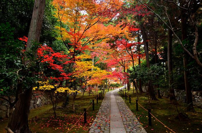 京福電鉄鹿王院駅からすぐにある鹿王院は、大混雑する嵐山エリアながらも2駅ほど離れているためゆっくりと紅葉を見ることができる穴場スポットです。山門を通った先に石畳が続き、紅葉の色づき始めは真っ赤なアーチをくぐることができます。終わりごろの「散り紅葉」は、まるで真っ赤な絨毯のよう。
