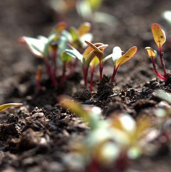 ビートの種は固いので、一昼夜種を水に漬け、濡らしたキッチンペーパーを二つ折りにして芽を出させてから植えると、発芽がそろうそうです。乾燥を嫌いますので、発芽まで水を切らさないようにします。