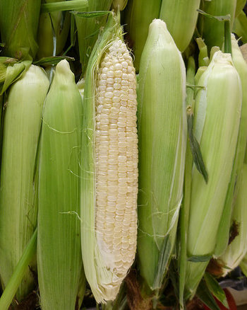 真珠の様に真っ白な「ピュアホワイト」!フルーツみたいな甘さとジューシーさが大人気の品種です。生でも食べられます!トウモロコシは収穫して時間が経つとどんどん糖度が落ちてしまうので、ぜひ家庭菜園で作って、採れたてを味わいたいですよね♪