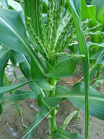 トウモロコシには雌雄の株があるので、実をつけるためには3~4本は植えましょう。また家庭菜園では受粉もした方が無難です。雄花である穂を雌花の絹糸につけて受粉してあげましょう!