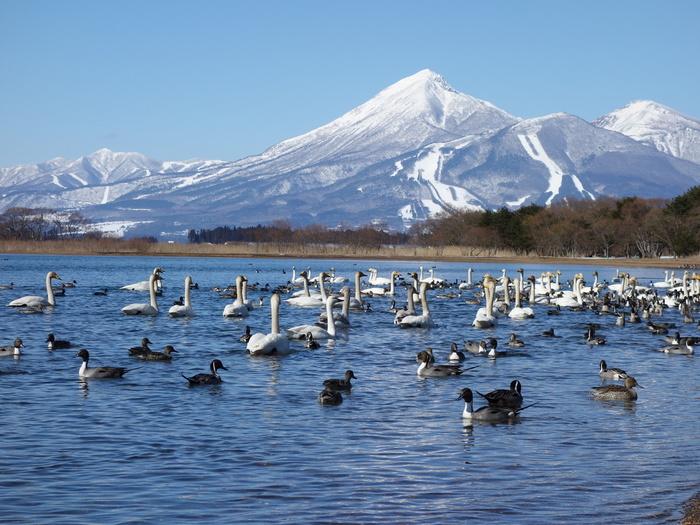 志田浜から眺める「猪苗代湖」には白鳥や鴨の群れがいることも。近くのお店には白鳥の餌が販売されています。