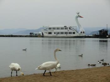 白鳥がぺたぺたと歩く姿はなかなか見ることができません。 まるでタイツを履いているような黒い足がなんだかキュート! 白鳥の遊覧船もありますよ。