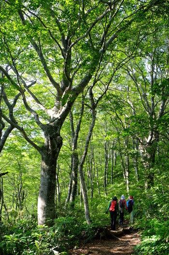 """自然豊かな場所を訪れると、鳥や小川などの音色で癒された経験はありませんか? さらに森林特有の清々しい香りは、樹木が発する""""フィトンチッド""""という香気成分によるため。フィトンチッドは殺菌作用があり、人が吸い込むと興奮がやわらぎ、精神が深くリラックスすることが知られています。  森林浴をしながらウォーキングすることで、抹消の血流が良くなり肩こりや腰痛、むくみなどが改善され、自律神経も整います。森林特有の香り・音・運動の相乗効果で、心と身体が癒されることから「森林セラピー」として、今注目を集めています。"""