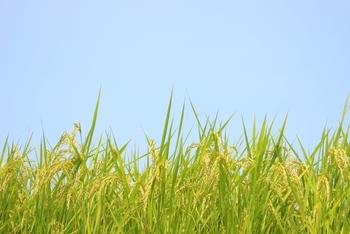 秋は新米の季節。新米はどれも美味しいですが、最近では全国各地で様々なブランド米が育てられています。