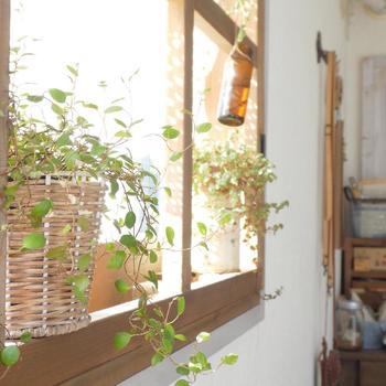 窓辺に籠を置いて、垂れ下がるグリーンを上手にアレンジしています。小さな葉っぱが集まって、キュートな雰囲気を醸し出しています。