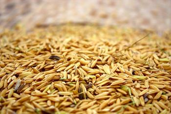 玄米は、モミの状態からもみ殻だけを取り除いた、ヌカ層や胚芽がついた状態のものです。