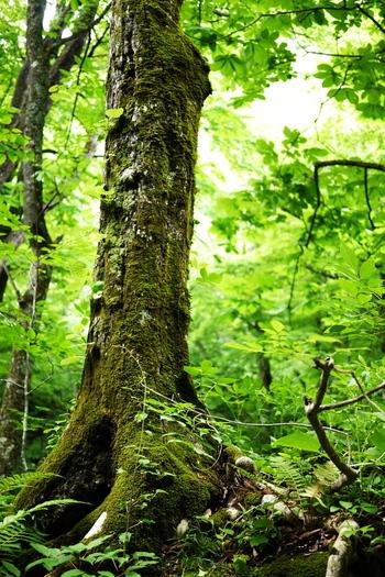 ブナの木は枝が重ならないように生えるため、太陽の光が地面まで届きます。 そのためブナ林の下には豊かな生態系が育まれるのです。