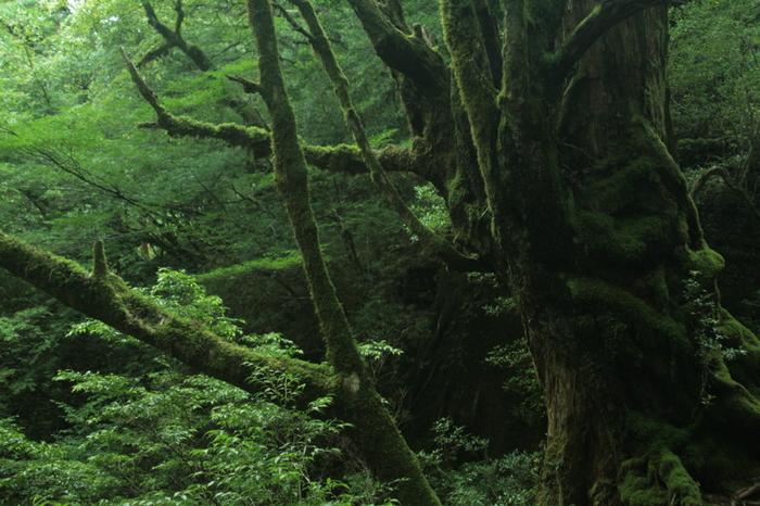 鹿児島県南部に位置する屋久島は、樹齢1000年を超える屋久杉による美しい自然景観と、亜熱帯から亜寒帯までの植物が海岸線から山頂へと連続的に分布する植生の垂直分布が見られることから、1993年に世界自然遺産に登録されました。 中でも縄文杉と呼ばれる樹齢7000年の屋久杉は見る者を圧倒します。