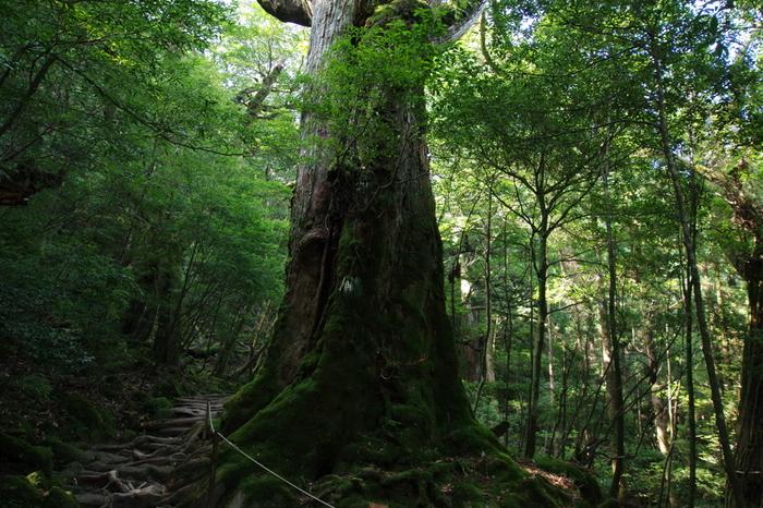 杉の寿命は最長で800年程度だそうですが、屋久島には樹齢1000年を超える杉の大樹がたくさん存在します。