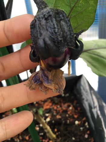 株の負担を減らして実成りを良くするため、一番果は親指大くらいで摘果しましょう。一番果の下の2本のわき芽を伸ばし、それ以下のわき芽は摘み取って、3本仕立てにするのも効果的です。