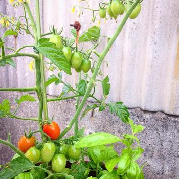 料理としても相性バッチリなトマトとバジル。一緒に植えると、バジルが余分な水分を吸収して、トマトが甘くなります!トマトは水分少な目に育てると美味しくなるのです♪