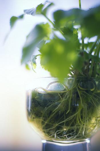 さわやかな香りが特徴的な三つ葉。お吸い物や丼などの彩りとしてよく使われますね。三つ葉の香り成分には、ストレスや睡眠などにも効果があるとされています。