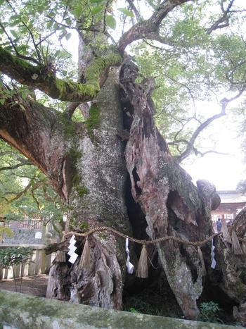 神社内にある天然記念物に指定されている大楠。神社内の空気の流れが神聖な感じ。