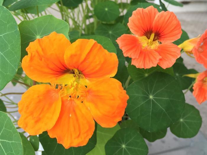 鮮やかなオレンジや黄色の花を咲かせるナスタチウム(キンレンカ)は、センチュウやコナジラミを遠ざけるだけでなく、ナメクジやカタツムリを引き寄せて一緒に植えた野菜を被害から守る役目を果たします。