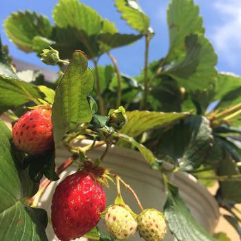 イチゴの受粉にはミツバチが不可欠ですが、ラベンダーやボリジ、マジョラムはミツバチを呼ぶ寄せるハーブとして知られます。また、カモミールを一緒に植えるとイチゴが嫌うアブラムシ対策にいいようです。