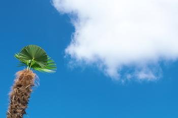 ヤシ科の植物「棕櫚(しゅろ)」は、先端に緑の葉が広がり、幹は茶色い繊維質の皮で覆われています。南国のイメージがありますが、実は日本にも昔から自生しており、ほうきやたわしの材料として利用され続けています。