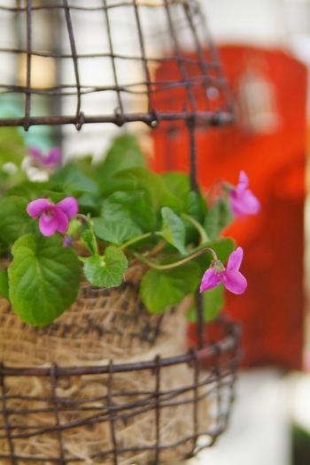 ニオイスミレは冬を越せる宿根草。秋に苗を買って植え付け、春に花を楽しみます。 暑さに弱いので、夏を越すときは日陰の風通しがいい場所へ。